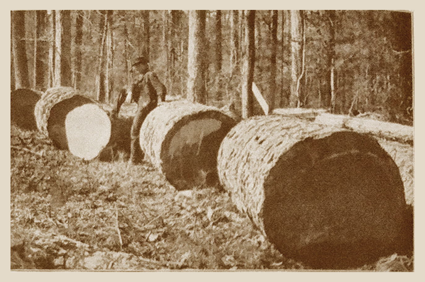Shortleaf Pine Logs (1909)