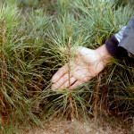 Pine Seedling